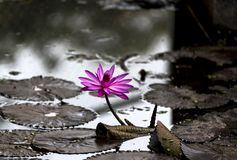 Pink Lotus blosson and leaves in pond in Rajkot, Gujarat, India Royalty Free Stock Images