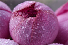Pink Lotus Blossoum Closed Hong Kong Flower Market stock photo