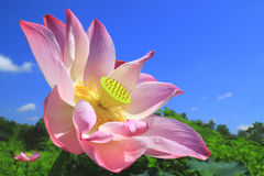 Pink lotus and blue sky Stock Photography