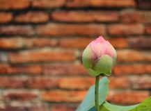 Pink lotus. On brick wall background Royalty Free Stock Photography