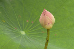 Pink lotus bud against green leaf. Royalty Free Stock Images