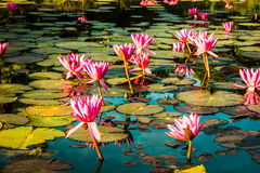 Pink lotus. Bud floating above the lake Stock Photo