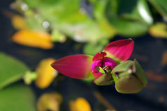 Pink lotus bud growing in the pond Stock Photo