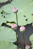 Pink lotus bud. Royalty Free Stock Photography