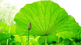 A pink lotus bud is sheltered by a big leaves in pomd in summer. A pink lotus bud is circled by some green leaves in pomd in summer.the flower is fresh and the stock photography