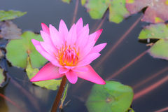 Pink lotus. The Buddhist people would planted lotus for worship the Buddha Stock Photo