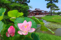 Pink lotus and Byodo-in temple in Kyoto, Japan Royalty Free Stock Images