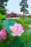 Pink lotus and Byodo-in temple in Kyoto, Japan Stock Photography