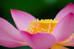 Pink lotus, close up. Close up of a pink lotus flower, green leaves as background Royalty Free Stock Image