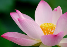 Pink lotus, close up Royalty Free Stock Image