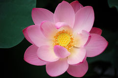 Pink lotus, close up Royalty Free Stock Photos
