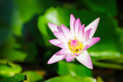 Pink lotus close up. And bee inside Royalty Free Stock Photo