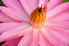 Pink Lotus close up Royalty Free Stock Photo