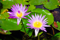 Pink Lotus. Lotus Close-up Flower Head Plant Water Lily Beauty In Nature Flower Summer Spring Water Decoration Outdoors Royalty Free Stock Photo