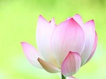 Pink lotus close up Royalty Free Stock Photos