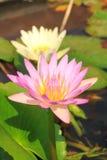 Pink lotus. Close up with white lotus back ground stock image