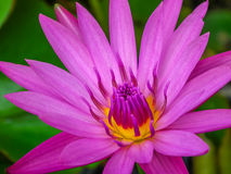 Pink water lily. Closeup Stock Images