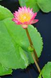 Pink Lotus Royalty Free Stock Images