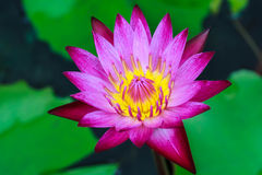 Pink Lotus. Stock Images