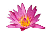 The Pink Lotus so cute on the White Background Royalty Free Stock Image
