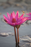 Pink lotus and dragonfly Stock Photos