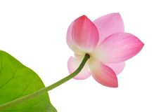 Pink lotus with drew stock images