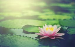 Beautiful Pink Thai Lotus that have been appreciated with dark blue water surface. royalty free stock photography