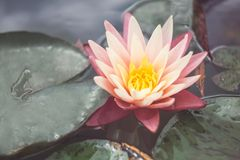 Pink lotus among the pond. Exotic tropical flower on a light green background. Water lily. Foliage. Pink lotus. Exotic tropical flower on a light green stock image