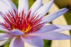 Pink lotus. Lotus farm, Symbol of Buddhism Stock Image