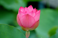 Pink lotus flowe Stock Photography