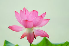 A pink Lotus flower Stock Photos