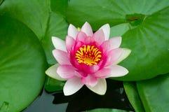 Pink lotus flower Royalty Free Stock Photos