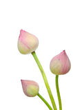 Pink lotus flower. Isolated on white background Stock Photos