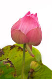 Pink lotus flower . Stock Photography