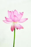 Pink Lotus flower. Isolated  Pink Lotus flower background Stock Images
