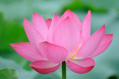 Pink Lotus flower. With green leaves Stock Photography