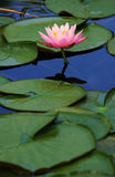 Pink lotus flower. A pond with a pink lotus flower and lily pads Royalty Free Stock Photography