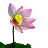 A pink lotus flower, royalty free stock image