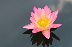 The pink lotus flower. The pink lotus flower in the peaceful pond Stock Photos