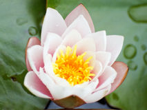 Pink lotus flower. A pretty pink lotus flower floating in a pond royalty free stock images
