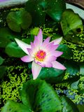 Pink lotus. Flower Stock Images