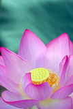 Pink Lotus Flower. In Blossom Stock Photos