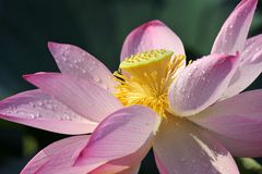 Pink Lotus Flower. Closeup with water drops Stock Image