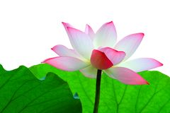 A pink lotus flower against foliage in isolation Royalty Free Stock Photo