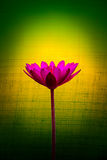 Pink lotus flower on a background of yellow and green. Royalty Free Stock Photos
