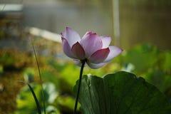 Pink Lotus flower. Beautiful lotus stock photo