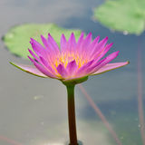 Pink lotus flower Royalty Free Stock Photo