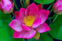 Pink lotus flower. Royalty Free Stock Photo