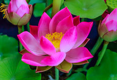 Pink lotus flower. Stock Image