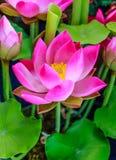 Pink lotus flower. Beautiful blooming pink lotus flower Stock Images